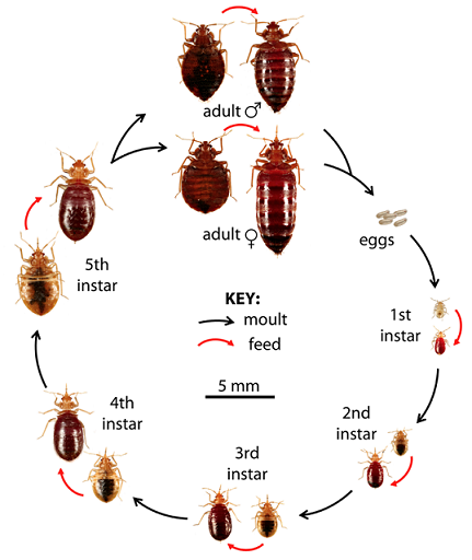 Bed Bugs As Pests Antitec