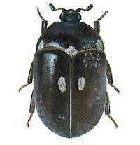 2-spotted carpet beetle